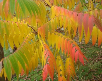 30 FLAMELEAF SUMAC TREE Shining Dwarf Winged Rhus Schmaltzia Copallina Seeds