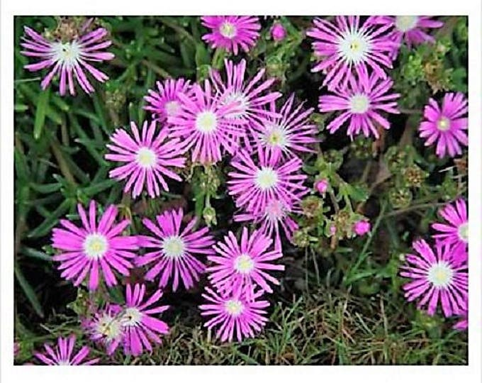25 Table Mountain ICE PLANT Magenta Fuchsia Delosperma Cooperi Flower Seeds