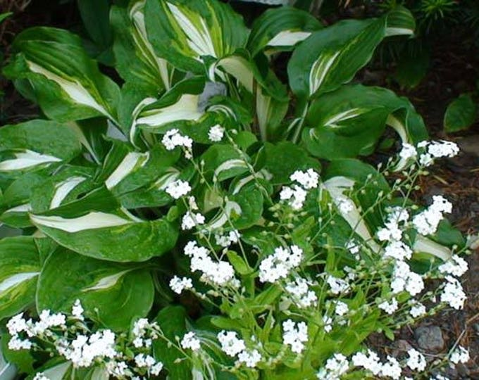 100 Victoria WHITE FORGET Me NOT Myosotis Sylvatica Flower Seeds