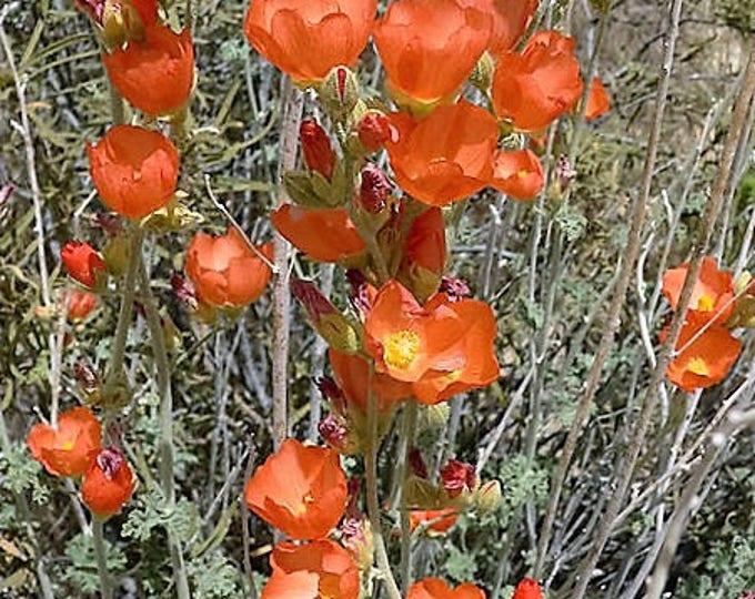20 Apricot DESERT GLOBEMALLOW Mallow Sphaeralcea Ambigua Flower Seeds