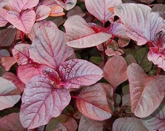 500 RED GARNET AMARANTH Amaranthus Tricolor Vegetable Flower Seeds *Combined S/H