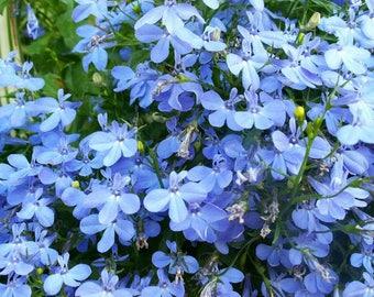 Blue Lobelia Etsy