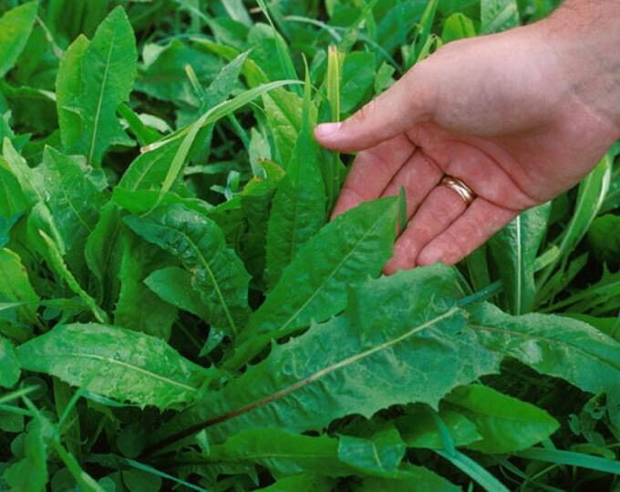 800 EMERALD CATALOGNA ENDIVE Italian Chicory Cichorium Endivia Seeds