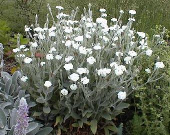 50 WHITE LYCHNIS Coronaria Alba (White Rose Campion / Evening Lychnis / Silene / White Cockle) Flower Seeds