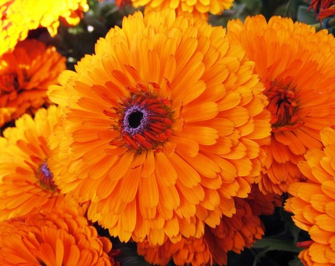 500 PACIFIC Beauty ORANGE MARIGOLD Calendula Officinalis Flower Seeds