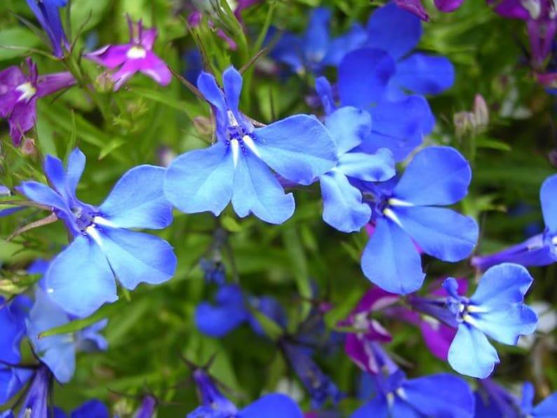 200 Sky Blue Lobelia Regatta Lobelia Erinus Flower Seeds Etsy