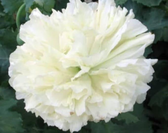 250 WHITE Cloud PEONY POPPY Papaver Peoniflorum Flower Seeds