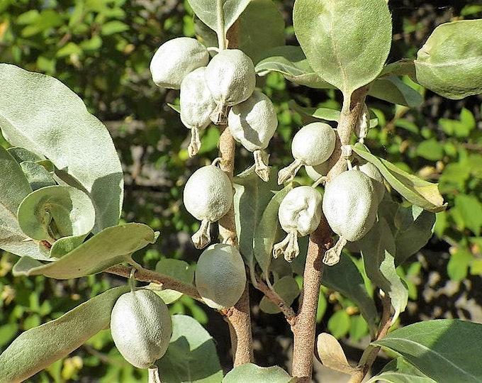 10 AMERICAN SILVERBERRY Elaeagnus Commutata aka Wolf Willow Wolfberry Wild Olive Berry Fruit Shrub Seeds