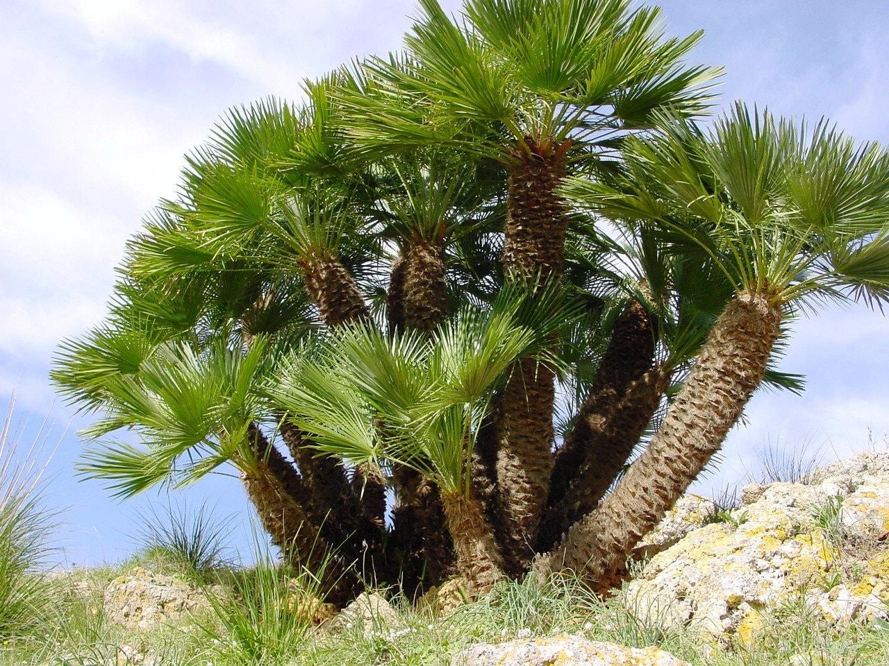 seeds /'Argentea/' ? 75 Chamaerops Humilis European Fan Palm Seeds TALL TREE
