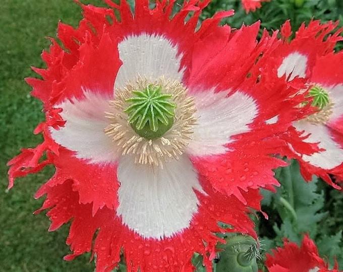 500 DANISH FLAG POPPY Red & White Queens Poppy Papaver Somniferum Danebrog Flower Seeds