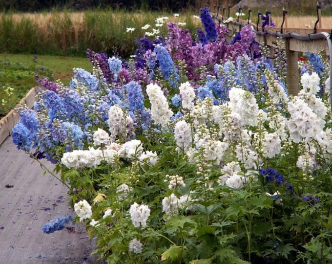 100 Mixed DELPHINIUM / ROCKET LARKSPUR Giant Imperial Mix Delphinium Consolida Flower Seeds