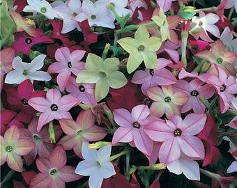 100 Heirloom MIXED COLORS NICOTIANA (Ornamental Flowering Tobacco) Nicotiana Alata Flower Seeds