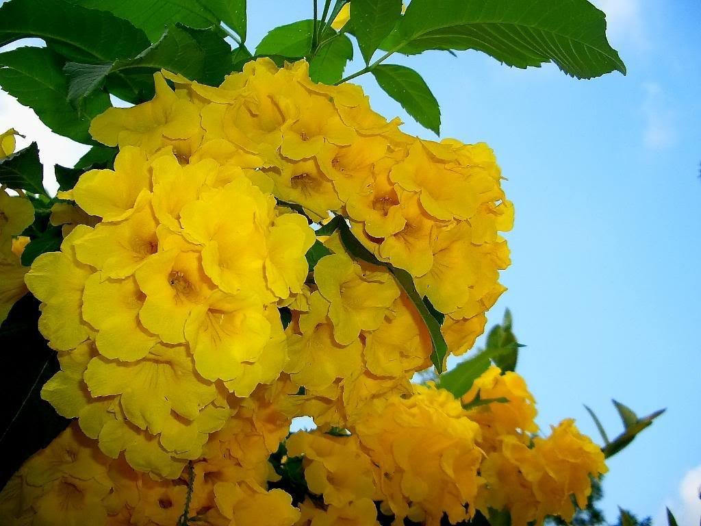 10 Tecoma Stans Yellow Trumpetbush Yellow Bells Yellow Elder