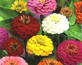 500 Mixed Colors CALIFORNIA GIANT ZINNIA Elegans Flower Seeds *Comb S/H