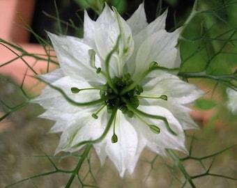 500 White LOVE IN A MIST ( Fennel Flower ) Nigella Damascena Flower Seeds