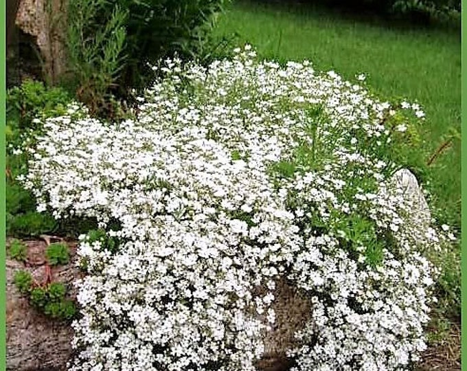 1000 White BABY'S BREATH 'Covenant Garden' Gypsophila Elegans Flower Seeds