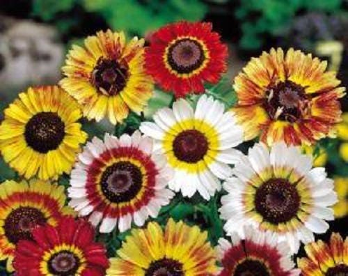 e4c3377e1b 250 TRICOLOR PAINTED DAISY (Pyrenthrum Daisy) Chrysanthemum Carinatum  Flower Seeds