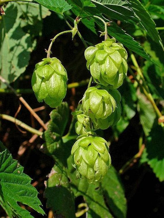 25 COMMON HOPS European Humulus Lupulus Vine Seeds Beer Making
