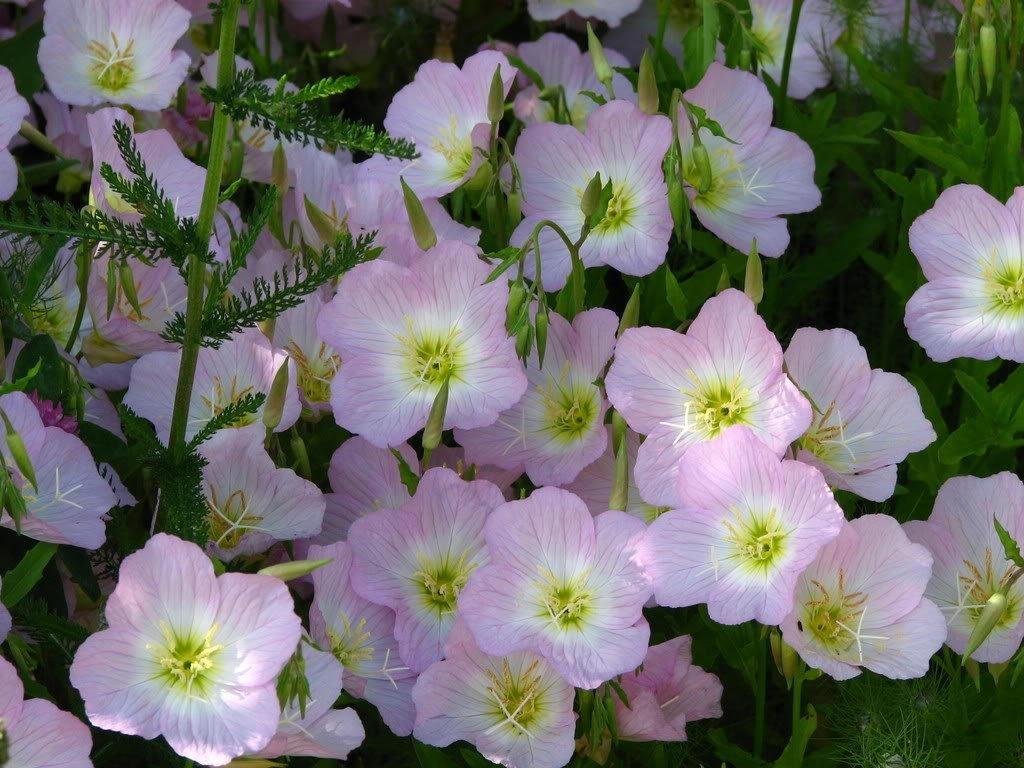 1000 showy pink evening primrose pink ladies mexican evening gallery photo gallery photo gallery photo gallery photo gallery photo mightylinksfo