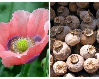 "1000 POPPY "" THE GIANT "" Papaver Giganteum Pink & Purple Huge Pods Flower Seeds"