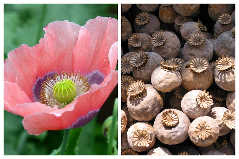 """1000 POPPY """" THE GIANT """" Papaver Giganteum Pink & Purple Huge Pods Flower Seeds photo"""