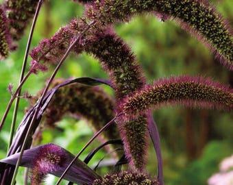 25 RED JEWEL MILLET Setaria Italica Ornamental Grass Flower Seeds *Flat Shipping
