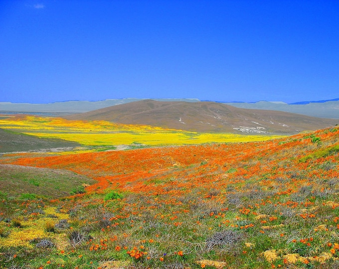 1000 MIXED Colors CALIFORNIA POPPY (Ballerina / Mission Bells) Eschscholzia Californica Flower Seeds