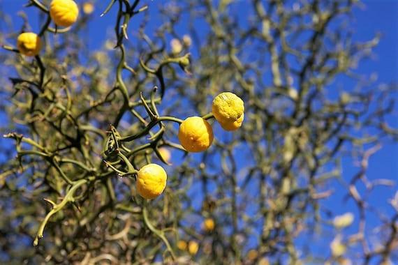Hardy Orange Tree Citrus Poncirus Trifoliata 5 Seeds