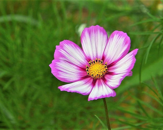 300 CANDY STRIPE COSMOS Cosmos Bipinnatus Flower Seeds