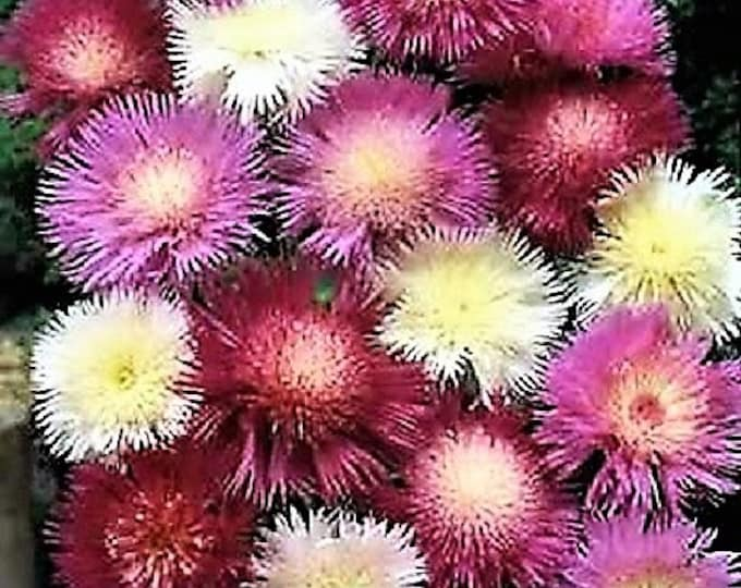 500 MIXED SWEET SULTAN Imperialis Mix Amberboa Moschata Centaurea Flower Seeds - Pink, Rose, Lilac, Purple, Mauve, White, & Yellow