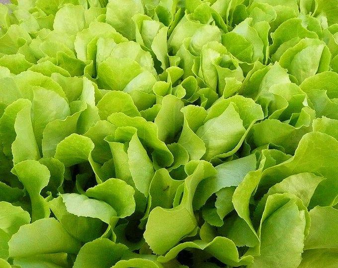 3000 Loose Leaf Green GRAND RAPIDS LETTUCE Lactuca Sativa Vegetable Seeds