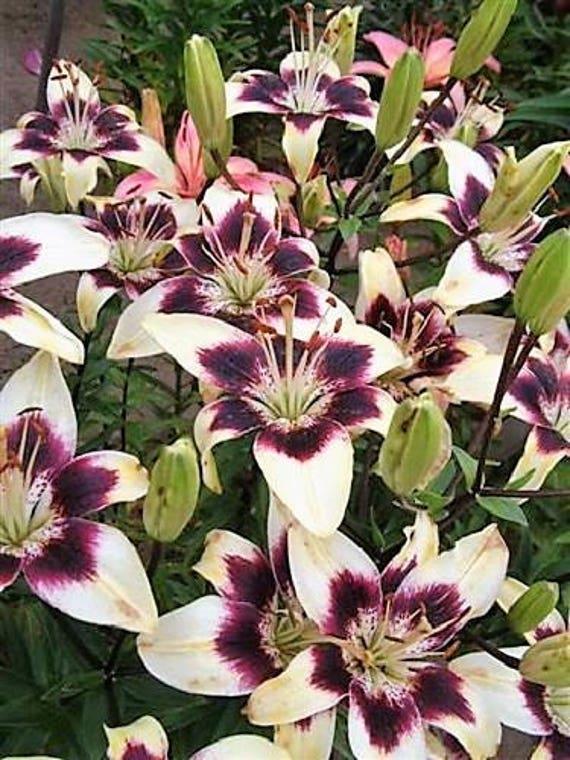 Lilium nepalense 8  seeds