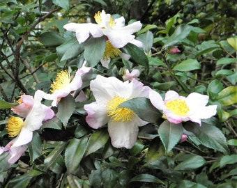 5 TEA PLANT Black & Green Drinking Tea Camellia Sinensis Evergreen Tree Shrub Flower Seeds