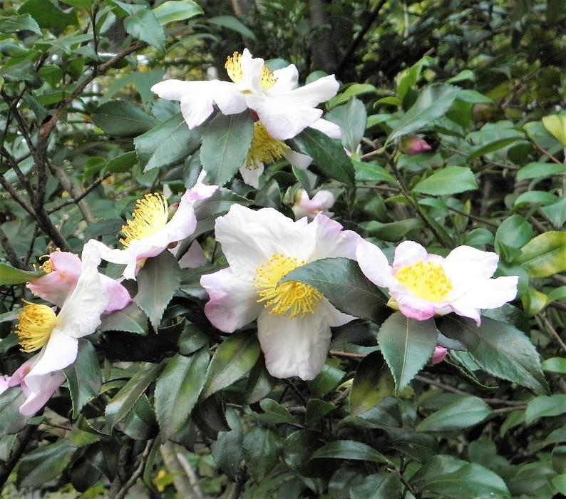5 TEA PLANT Black & Green Drinking Tea Camellia Sinensis Evergreen Tree Shrub Flower Seeds photo