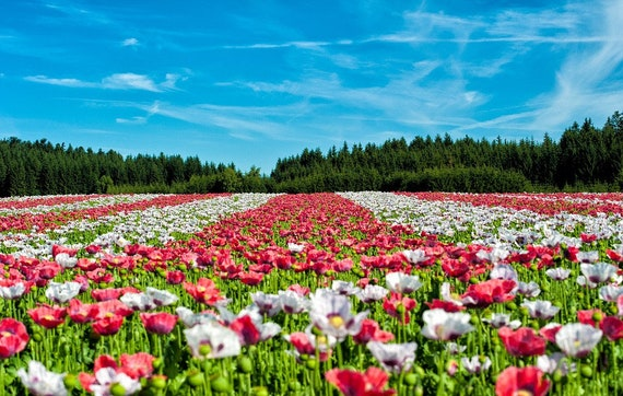 250 AFGHAN POPPY Mixed Colors Papaver Pink Purple White Flower Seeds *Flat Ship