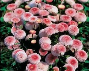 100 Strawberries & Cream ENGLISH DAISY Bellis Perennis Flower Seeds *Flat Shipping