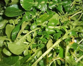 1500 WRINKLED CRINKLED CRESS Garden Lepidium Sativum Greens Vegetable Seeds