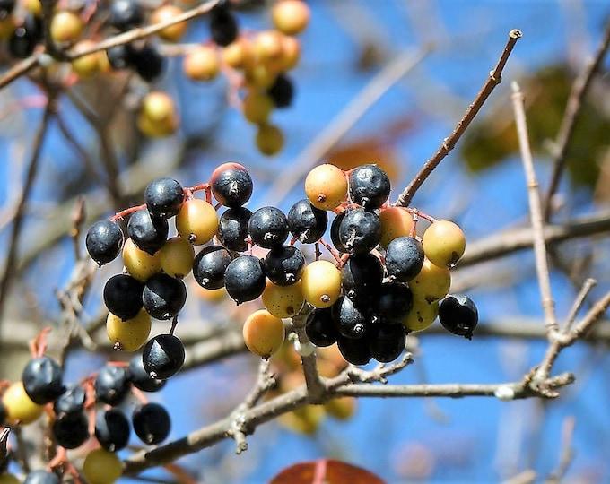 20 NANNYBERRY SWEET VIBURNUM Lentago Shrub Tree Blue Black Berry Fruit White Flower Seeds