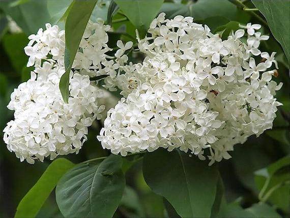 20 weiße Flieder Kolibri Blume duftenden Peking Syringa