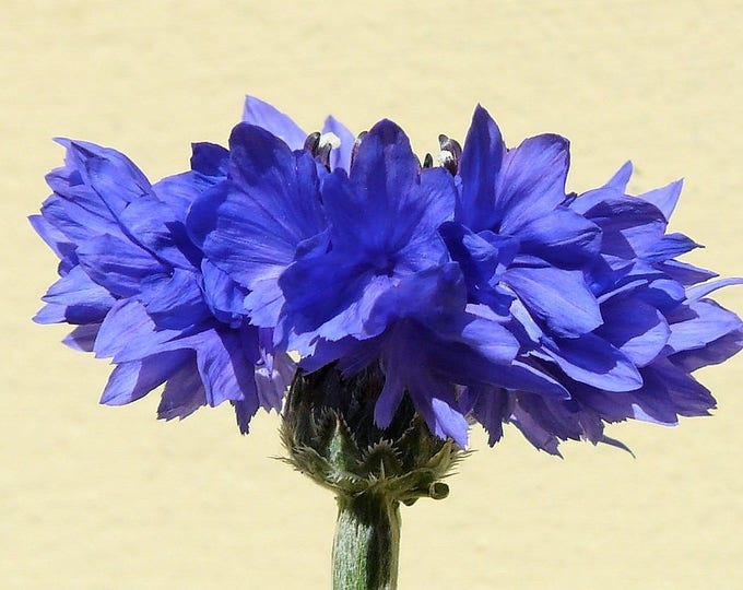 1000 Tall Blue BACHELOR'S BUTTON / CORNFLOWER Centaurea Cyanus Flower Seeds