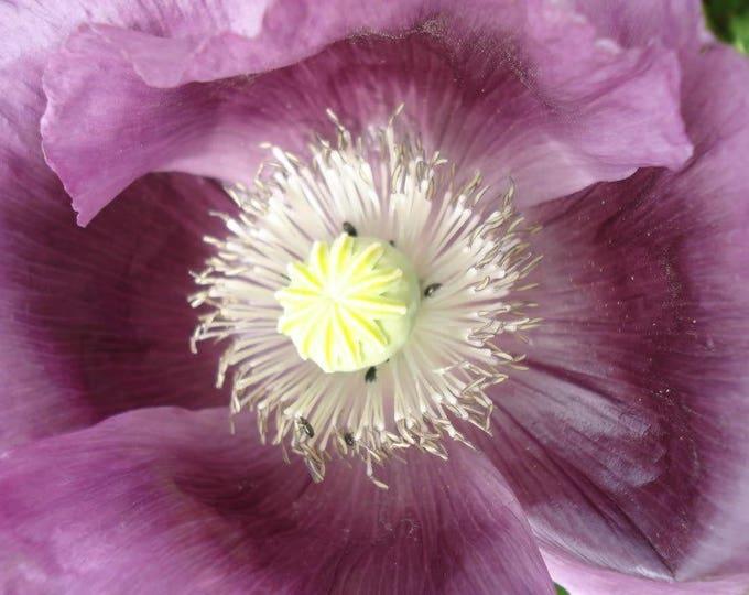 1000 LAVENDER POPPY Purple Papaver Somniferum Flower Seeds