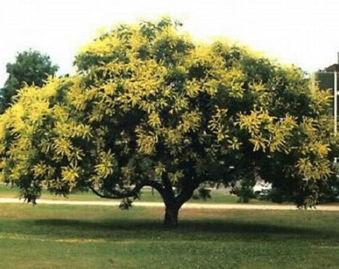 10 GOLDEN RAIN TREE Goldenrain Koelreuteria Paniculata Yellow Flower Seeds *Combined S/H