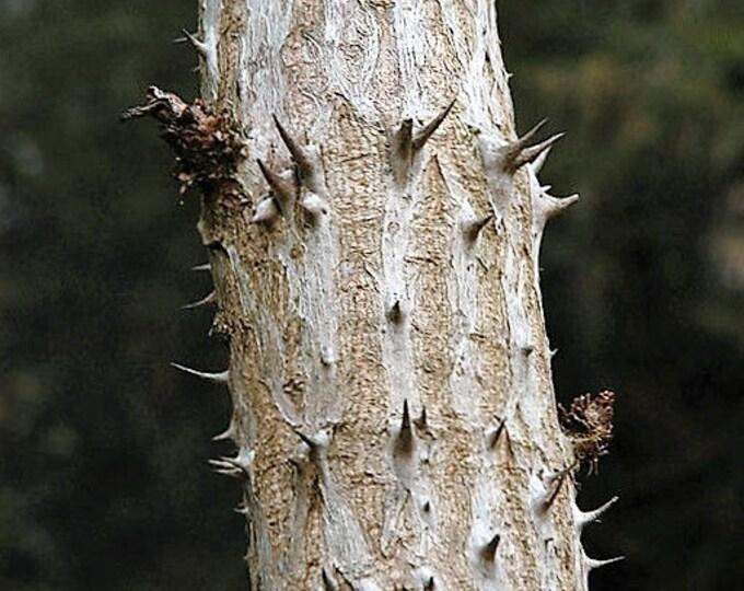 25 DEVIL'S WALKINGSTICK Shrub Flower Prickly Ash Elder Aralia Spinosa Seeds