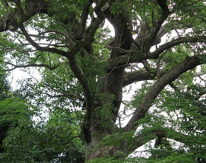 5 CAMPHOR TREE Laurel Cinnamomum Camphora Camphorwood White Flower Black Seeds