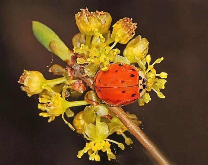 10 SPICEBUSH Wild Allspice Lindera Benzoin Northern Spice Bush Red Berry Yellow Flower Seeds