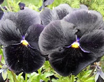 50 BLACK PANSY Clear Crystals Viola Wittrockiana Flower Seeds *Comb S/H