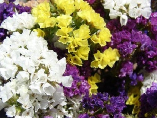 50 pacific mix statice sinuata mixed colors sea lavender limonium 50 pacific mix statice sinuata mixed colors sea lavender limonium latifolia flower seeds mightylinksfo