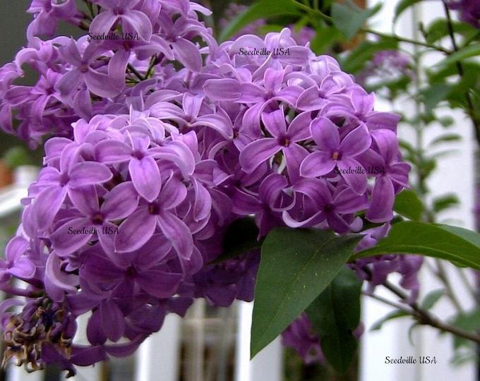 25 FRENCH / Old FASHIONED LILAC Syringa Vulgaris Flower Shrub Bush Seeds