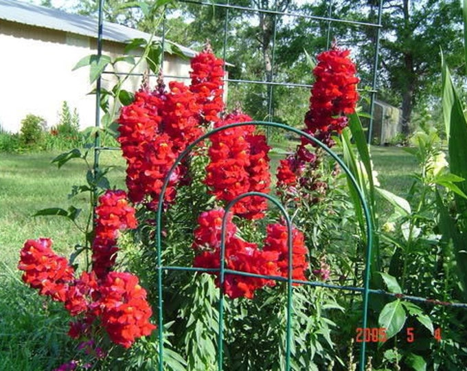 250 RUBY RED SNAPDRAGON Antirrhinum Majus Flower Seeds *Flat Shipping