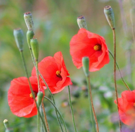 250 Red Long Pod Poppy Papaver Dubium Long Headed Blindeyes Etsy
